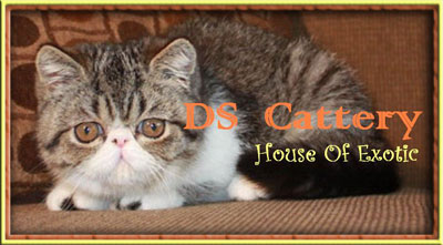 DS Exotic Cattery Malaysia